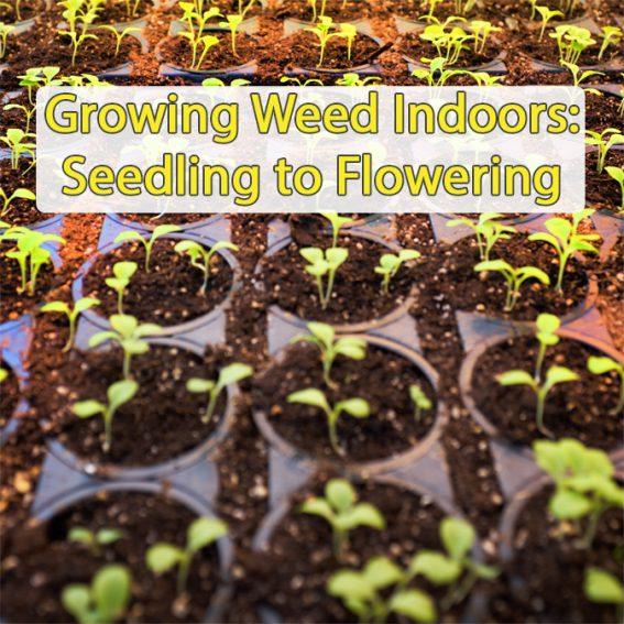 Medical Marijuana Seedling to Flowering